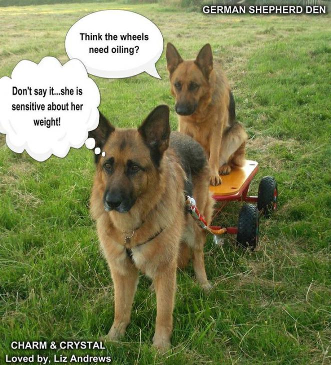 Funny Gsd Memes Page 5 German Shepherd Dog Forums