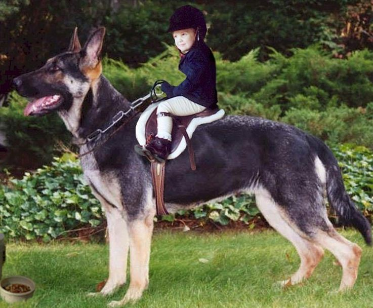175 Pound Gsd Page 4 German Shepherd Dog Forums