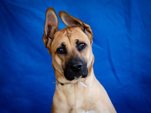 Great Dane Dog Breeding Videos