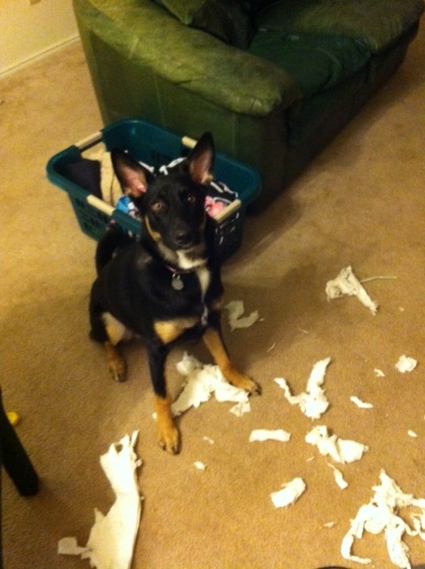 Remy enjoying herself..-gsd.jpg