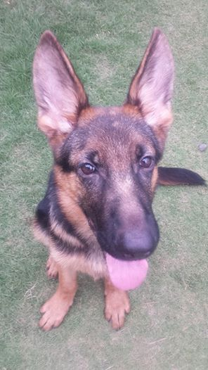 GSD 5 months old face problem-gsd-problem.jpg