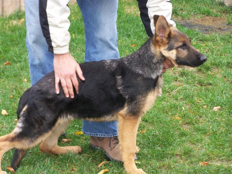 Month Old German Shepherd Puppy Pictures Pictures to pin on Pinterest