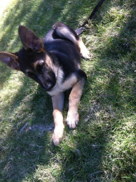 New Member from Southern California-hachi_13wks_resize.jpg