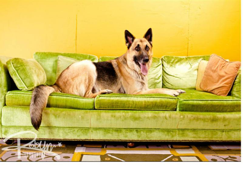 Introducing my GSD rescue!-heinz-sofa.jpg