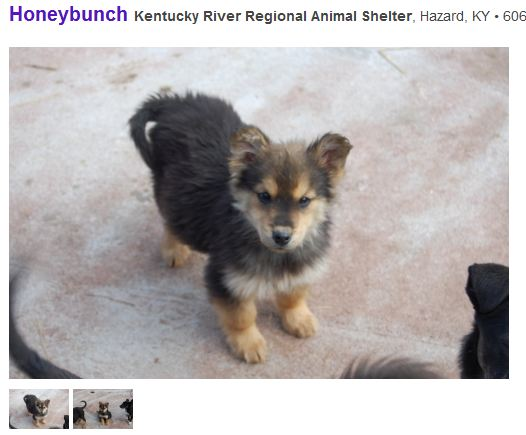 Must see German Shepherd Chubby Adorable Dog - 34594d1359819107-how-tell-your-puppy-too-fat-honeybunch1  Trends_343818  .jpg