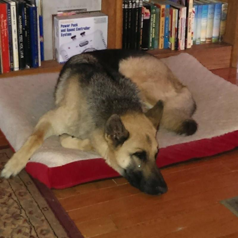 First Dog - 4 year old GSD from Pound-hunter-bed.jpg