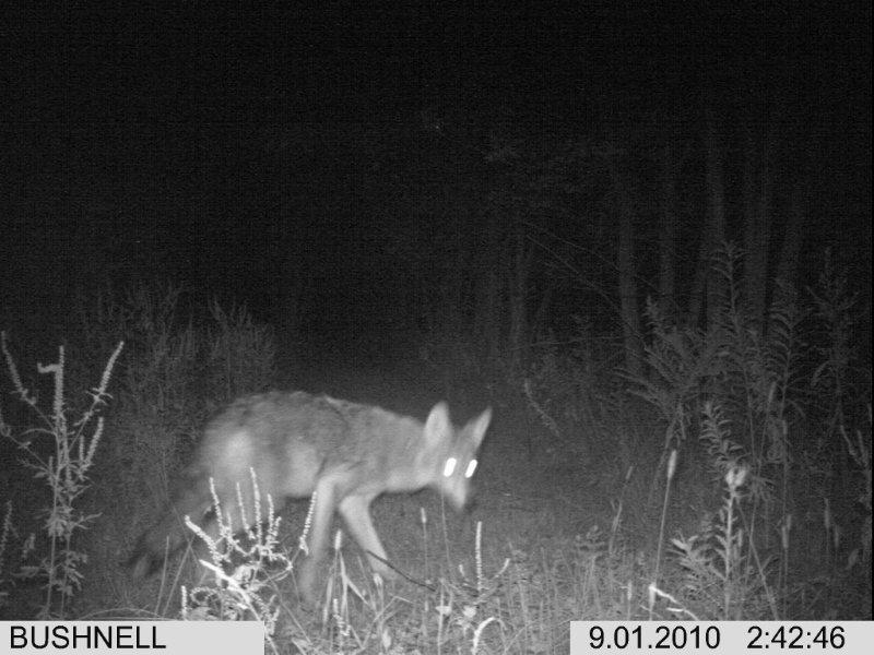 Coyotes vs. a GSD?-im000035-2-.jpg