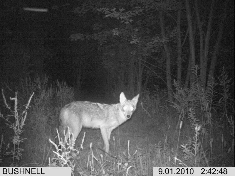 Coyotes vs. a GSD?-im000036-2-.jpg