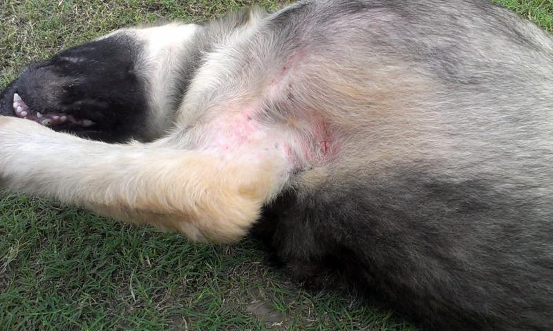 Lexy Skin Problem Ringworm German Shepherd Dog Forums