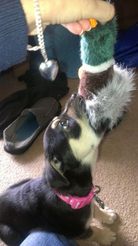 do you think I have german shepherd in me?-imag0524.jpg