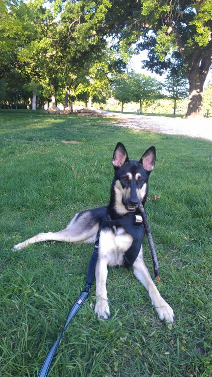 German Shepherd Wolf mix???-imag2474.jpg