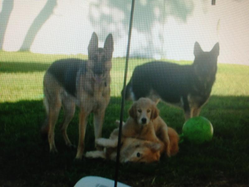 Golden Retriever Gets Along With Gsd German Shepherd Dog Forums