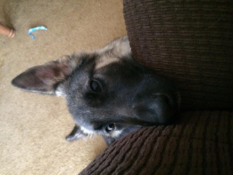 New GSD owner and member from Oklahoma!-image.jpg