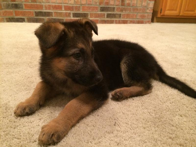Advice for GSD Puppy with Congenital MEGA-E-image.jpg