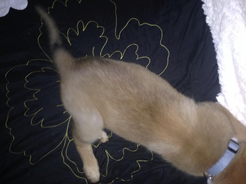 Sable puppy? Mom was a fawn GSD and dad was a red sable GSD...-image.jpg