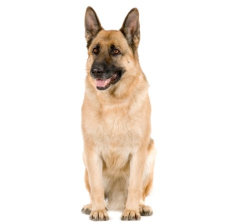 What color would this GSD be called?-image.jpg