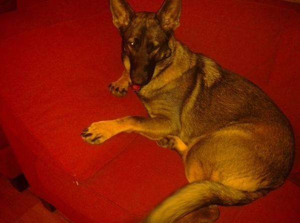 My grandma's GSD has turned out to be so gorge...-image.jpg