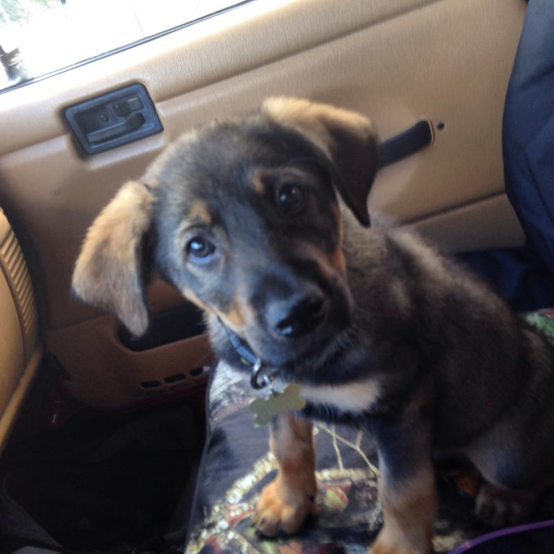 German Sheperd/lab mix...ears?-image.jpg
