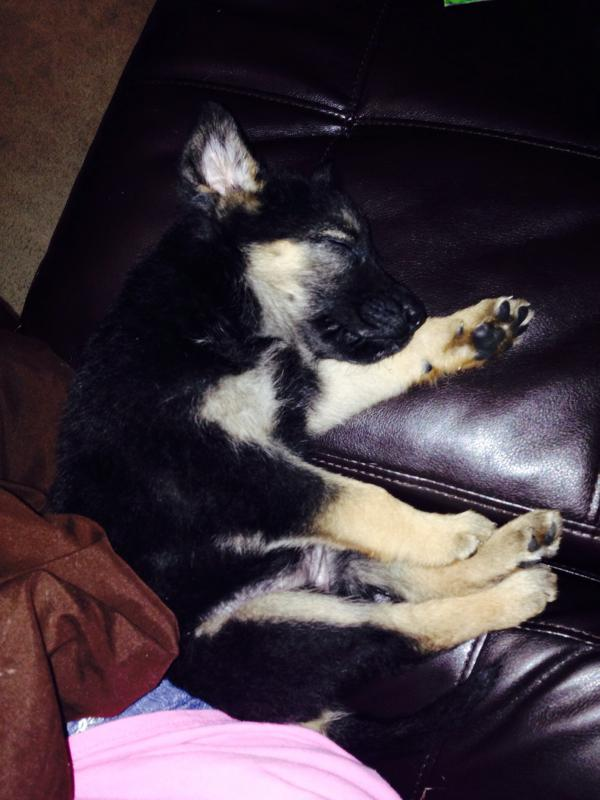 My GSD pup seems small-image.jpg