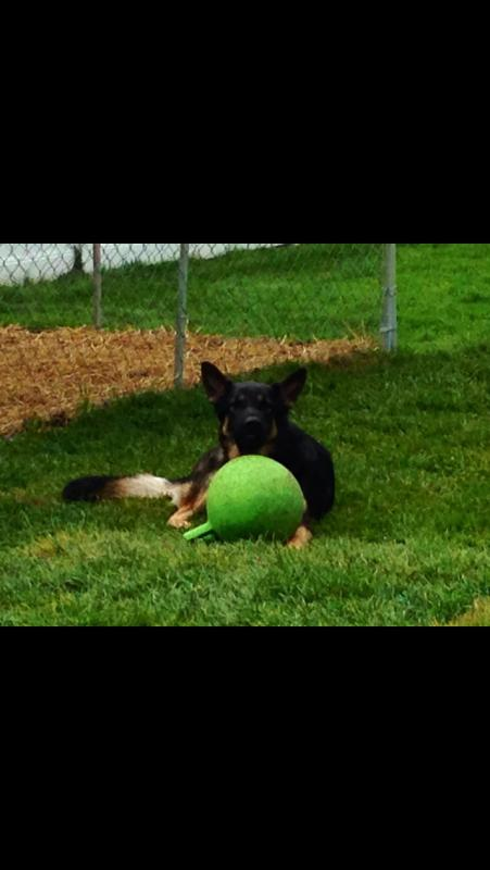 What are your favorite German Shepherd proof toys?-image.jpg