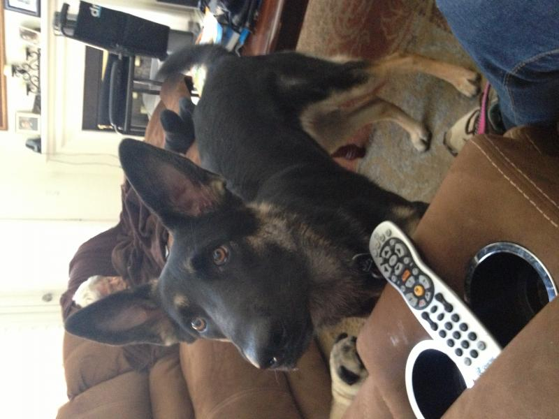 I want to see your 1 year old female GSD!!-image.jpg