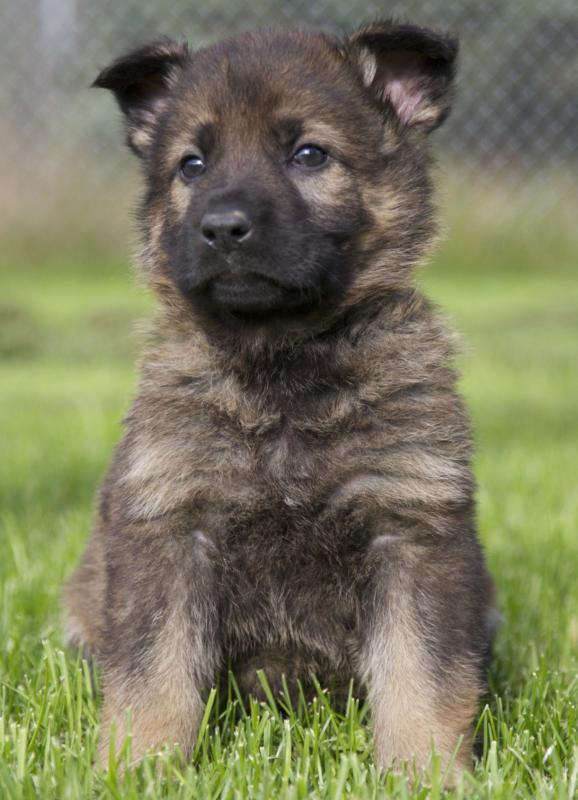 New member just purchased working line German Shepard puppy-image.jpg