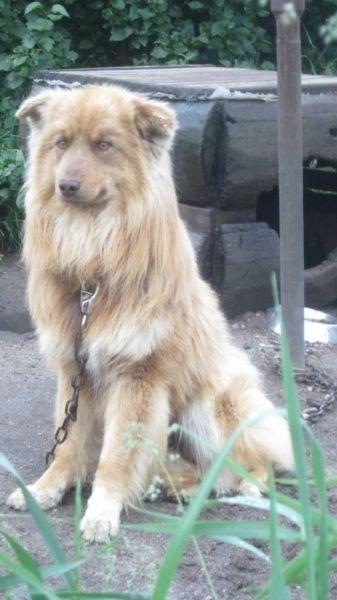 Border Collie/Australian Shepherd-image.jpg