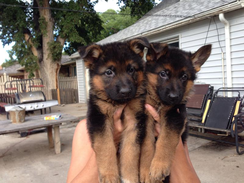 I can't decide between these two puppies and I get first pick!-image.jpg