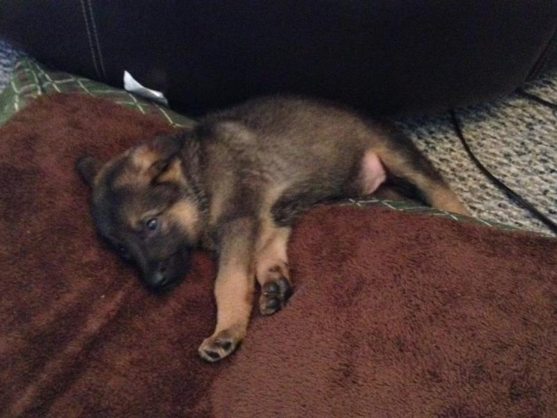 Hi from VA. New puppy, new to GSD breed-image.jpg