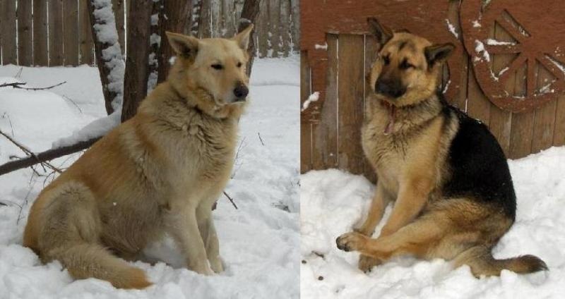 SW Detroit Michigan  2 Shepherds  found-image.jpg