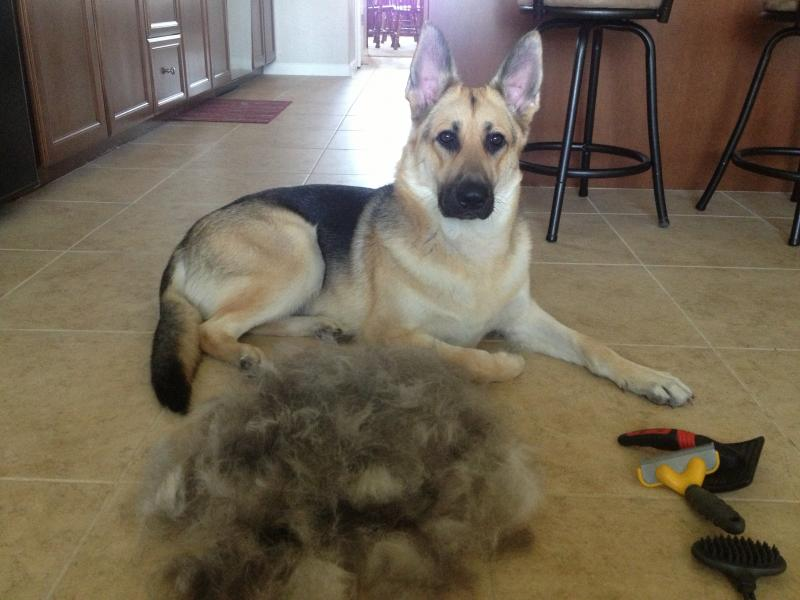 ... the shedding ever stop!!!!! - Page 4 - German Shepherd Dog Forums