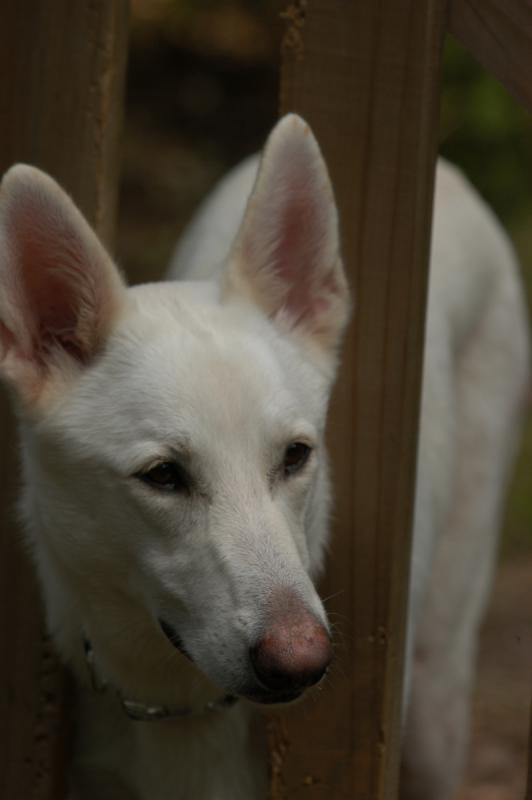 Lost White German Shepherd Oakridge,OR-image0007.jpg