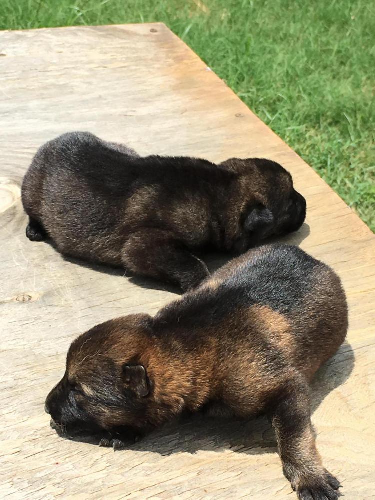 Newborn Sable Dark German Shepherd Dog Forums