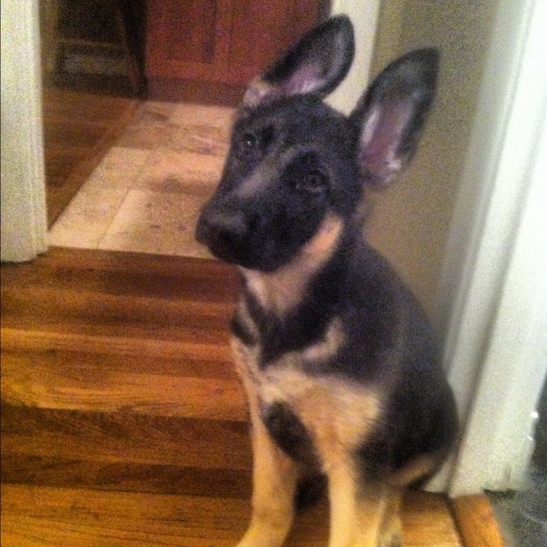 My new pup :P-imageuploadedbypg-free1353720489.913751.jpg