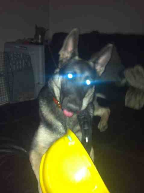 I is a safe working dog-imageuploadedbypg-free1354146136.092694.jpg