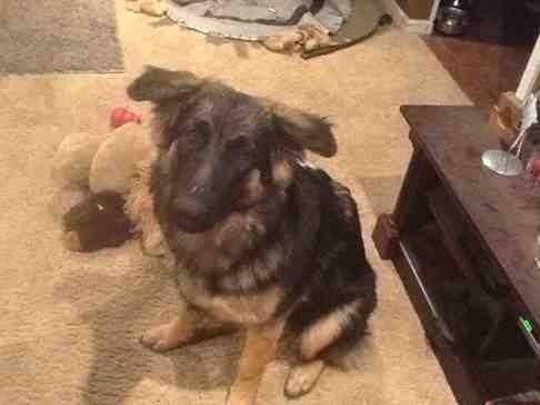 German shepherd ears not up at 6 months