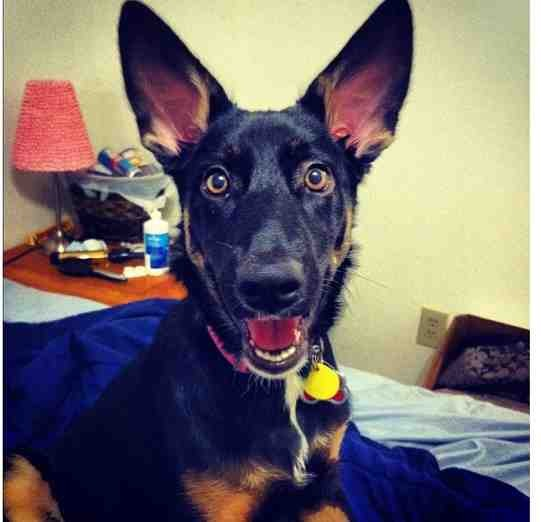 Show me your GSD at 4-5 months old!-imageuploadedbypg-free1354835777.889293.jpg