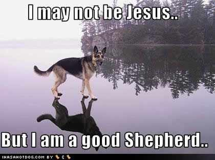 Some funny GSD pics I wanted to share!-imageuploadedbypg-free1355367873.253386.jpg