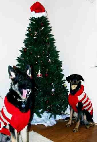 Christmas photo fun![GSD, mix, and Bulldog]-imageuploadedbypg-free1355715521.912204.jpg