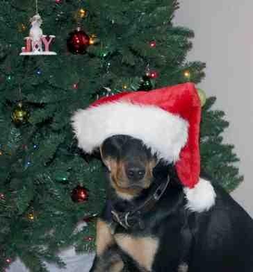 Christmas photo fun![GSD, mix, and Bulldog]-imageuploadedbypg-free1355715543.191888.jpg