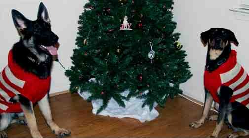 Christmas photo fun![GSD, mix, and Bulldog]-imageuploadedbypg-free1355715557.114544.jpg