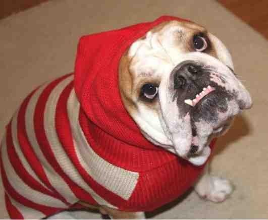 Christmas photo fun![GSD, mix, and Bulldog]-imageuploadedbypg-free1355715569.763620.jpg