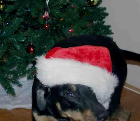 Christmas photo fun![GSD, mix, and Bulldog]-imageuploadedbypg-free1355715588.039474.jpg