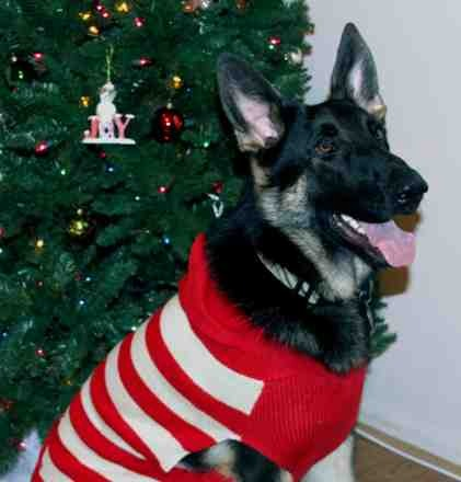 Christmas photo fun![GSD, mix, and Bulldog]-imageuploadedbypg-free1355715601.798566.jpg