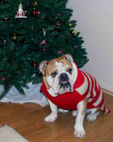 Christmas photo fun![GSD, mix, and Bulldog]-imageuploadedbypg-free1355715613.290522.jpg