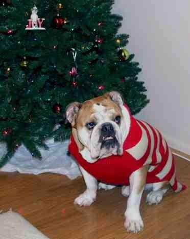 Christmas photo fun![GSD, mix, and Bulldog]-imageuploadedbypg-free1355715613.290522.jpg
