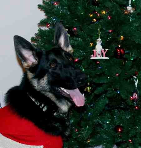 Christmas photo fun![GSD, mix, and Bulldog]-imageuploadedbypg-free1355715628.256350.jpg