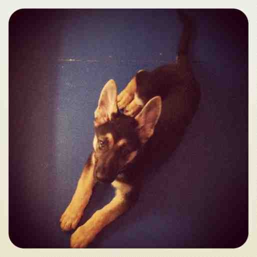 My GSD's ears seems too small?-imageuploadedbypg-free1356988952.056265.jpg