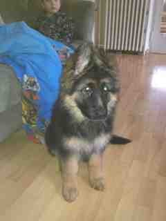 My GSD's ears seems too small?-imageuploadedbypg-free1357057680.637519.jpg