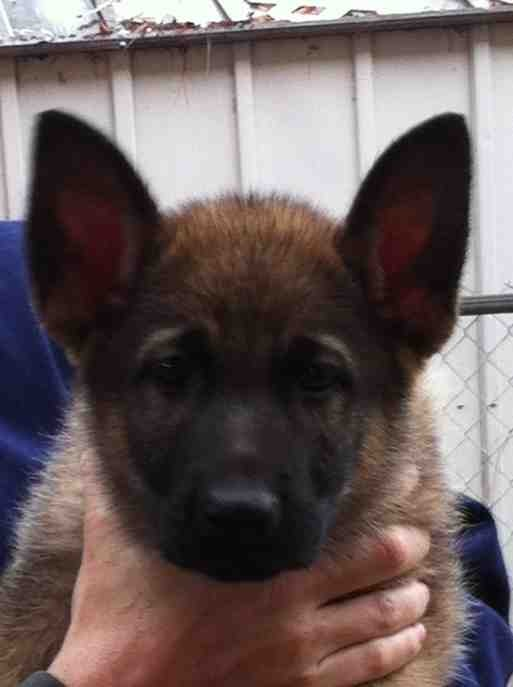 Ears are up at 8 weeks-imageuploadedbypg-free1357138721.920977.jpg